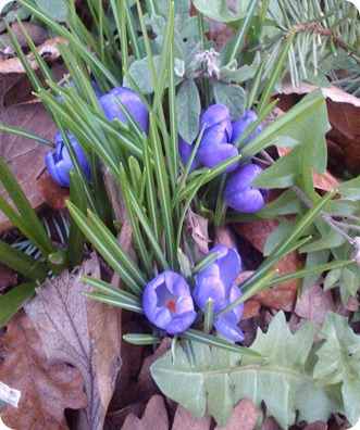 Crocuses Peeking Out