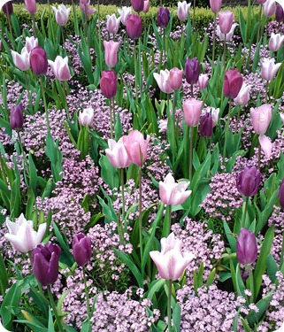 Purple Tulips at Butchart Gardens
