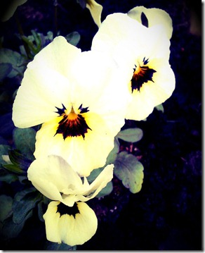 White Pansy Faces