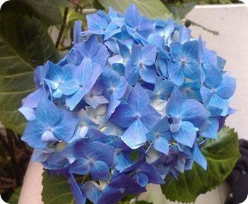 Courtyard Blue Hydrangea