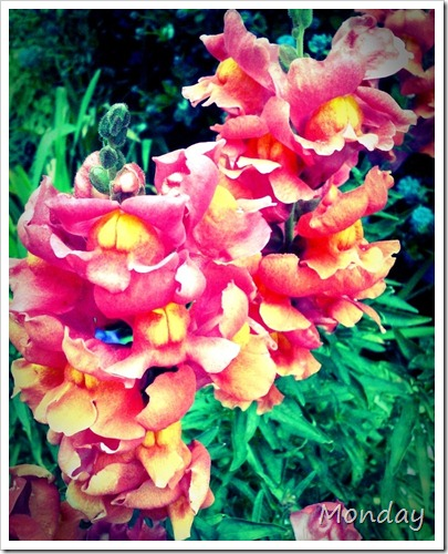 Monday Snap Dragons