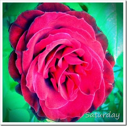 Saturday Red Rose