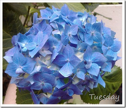 Tuesday Blue Hydrangeas
