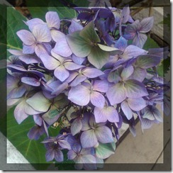 August Courtyard Hydrangeas 1