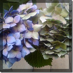 August Courtyard Hydrangeas 2