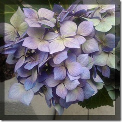 August Courtyard Hydrangeas 4