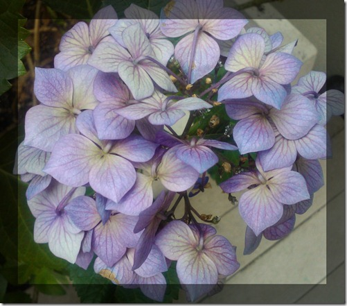August Courtyard Hydrangeas 5