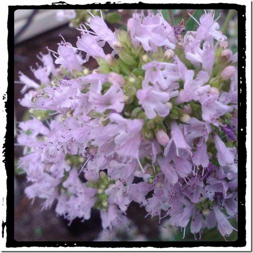 Oregano Blossoms