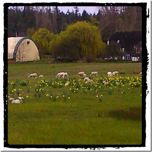 Lambs in the Daffodils
